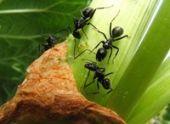 Садовые муравьи и как с ними бороться