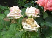 Болезни роз
