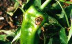 Болезни растений в парниках и теплицах