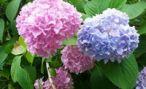 Цветник гортензия