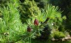 Характеристика и свойства лиственницы
