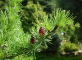 Лиственница: описание видов и выращивание дерева