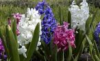 Домашний цветок гиацинт