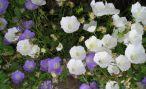 Комнатное растение колокольчик (жених и невеста) и его фото