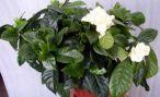Гардения жасминовая: фото цветов