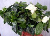 Комнатный цветок Гардения жасминовая
