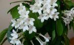 Комнатное растение стефанотис