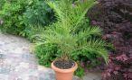 Домашнее растение финик