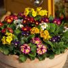 Комнатное растение цветок примула
