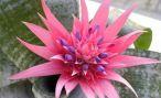 Цветок эхмея