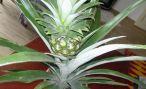 Домашний цветок ананас