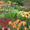 Луковичные растения для сада: названия и их фото