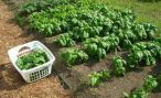 Выращивание шпината из семян: посадка и уход