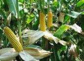 Как вырастить кукурузу на даче?