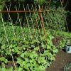 Выращивание бобов