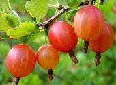 Крыжовник — это ягода для гурманов