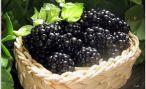 Выращивание ягоды ежевики