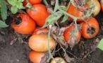 Альтернариоз овощных культур: фото альтернариоза томатов и картофеля