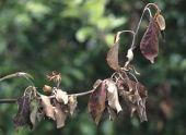 Вирусные болезни растений и их фото