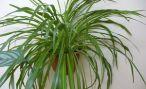 Комнатные цветы хлорофитум: описание и фото