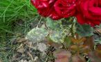 Черная пятнистость и чем лечить эту болезнь роз