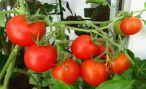 Технология выращивания томатов в теплице и открытом грунте