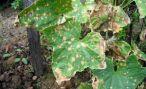 Защита огурцов от болезней и вредителей