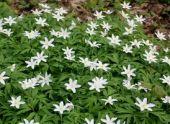 Анемона (Ветреница): виды и сорта цветов