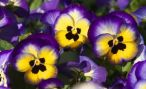 Анютины глазки: описание сортов, посадка и уход за цветами