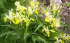 Растение юнона: фото и выращивание