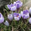 Садовые крокусы: фото цветов, посадка и размножение