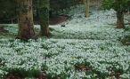 Садовые подснежники: виды, сорта и выращивание цветов