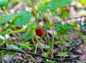 Съедобные лесные ягоды с фото и названиями