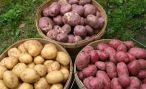 Картофель: сорта, хранение урожая, борьба с болезнями и вредителями