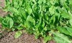 Щавель: выращивание из семян в открытом грунте