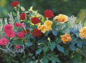Миниатюрные розы в саду и квартире
