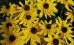 Рудбекия многолетняя: виды и сорта