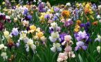 Ирисы: описание многолетних цветов, посадка и уход