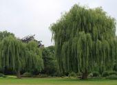 Ива: описание видов и выращивание дерева