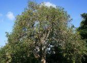 Дерево авокадо: уход и выращивание в домашних условиях