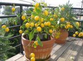 Апельсин: описание и выращивание дома