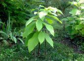 Азимина (банановое дерево): описание, уход и выращивание
