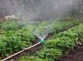 Правильный полив клубники во время выращивания