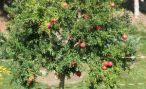 Дерево гранат: как выглядит и как ухаживать