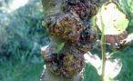 Морозные повреждения плодовых деревьев и их лечение