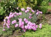 Гвоздика садовая: виды и сорта, условия выращивания