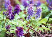 Хохлатка (Corydalis): цветок в саду