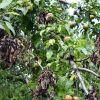 Болезни и вредители груши: описание и методы борьбы с ними