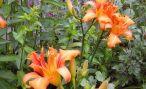 Лилейник: описание, посадка и размножение в дачном саду