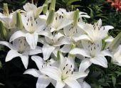 Лилия: виды и сорта, правила ухода и размножения